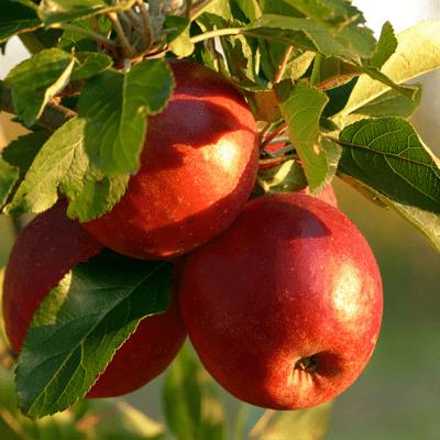 apples hanging in apple tree