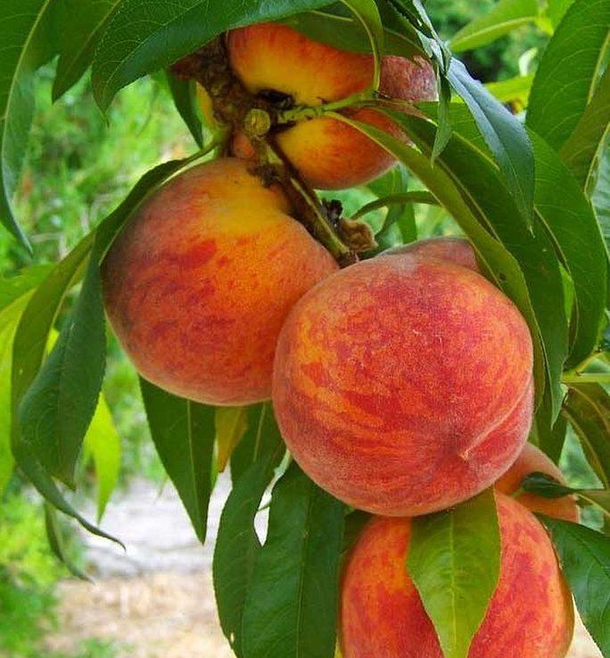 peaches in peach tree