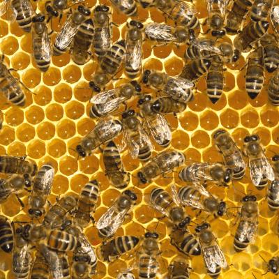 bees in honey comb