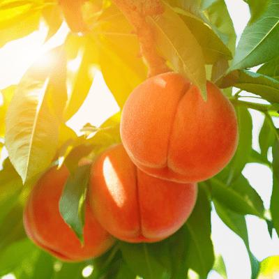 Peaches hanging in peach tree