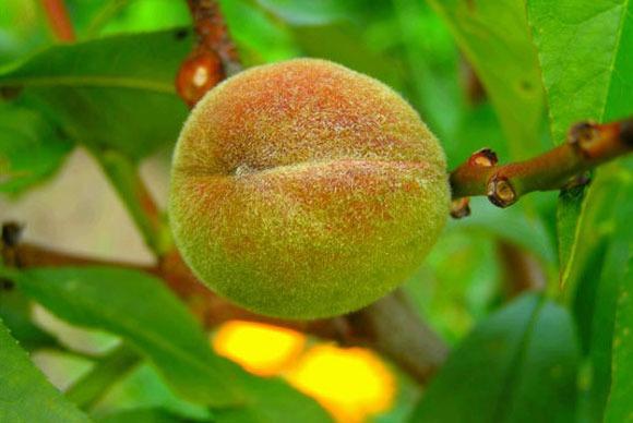 close up of peach