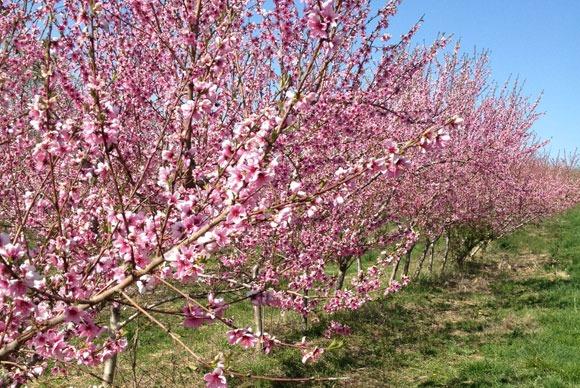 peach trees in bloom