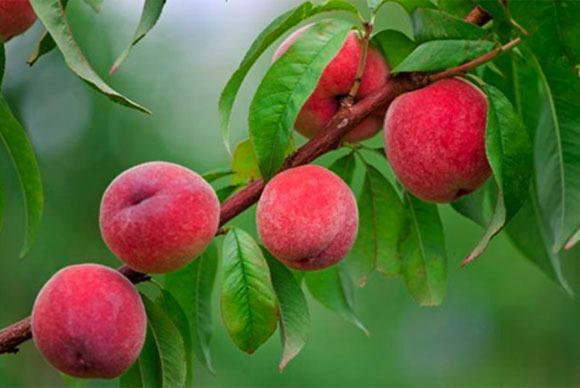 close up peaches